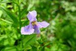 Allegheny monkey-flower (Mimulus ringens)