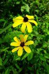 Black-eyed-susan (Rudbeckia hirta)