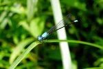 Blue-fronted Dancer damselfly (Argia apicalis)