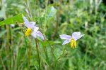 Carolina horsenettle (Solanum carolinense)