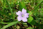 Carolina wild petunia (Ruellia caroliniensis)