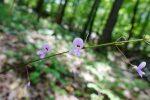 Nakedflower tick trefoil (Desmodium nudiflorum)