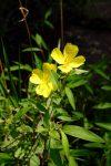 Narrowleaf evening primrose (Oenothera fruticosa)