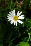 Oxeye Daisy (Leucanthemum vulgare)