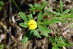 Pencil flower (Stylosanthes biflora)