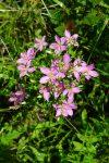 Rose pink (Sabatia angularis)