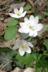 Rue anemone (Thalictrum thalictroides)