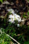 Slender mountain mint (Pycnanthemum tenuifolium)