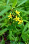 Spotted St Johnswort (Hypericum punctatum)