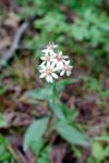 Toothed whitetop aster (Sericocarpus asteroides)