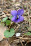 Wild Violet (Viola sororia or cucullata)